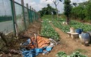 """Ngỡ ngàng """"trang trại"""" trồng rau, nuôi bò giữa đại lộ Thăng Long"""