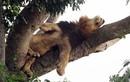 Sau cảnh sư tử nằm phè phỡn trên cây... là sự thật chết cười