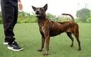 Thực hư thông tin Việt Nam đang sở hữu giống chó thông minh nhất