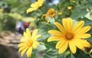 Ngắm mãn nhãn rừng hoa dã quỳ vàng rực ở Ba Vì