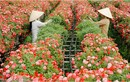Hoa Tết: Làng hoa Sa Đéc ra lò 40.000 giỏ hoa mới, lạ