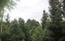 """Cả rừng gỗ quý hiếm của lão nông """"dở hơi"""""""