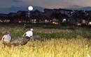 """Cả làng ban đêm kéo ra đồng để làm việc """"hốt bạc"""" này"""