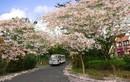 Ngắm cung đường hoa anh đào tuyệt đẹp tại Vũng Tàu