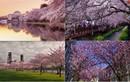 Những điểm ngắm hoa Anh Đào tuyệt vời nhất thế giới