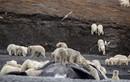 Ảnh động vật tuần: Gấu mở tiệc trên xác cá voi khổng lồ