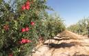 Mướt mắt cảnh thu hoạch hàng nghìn tấn lựu đỏ