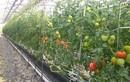 """""""Lạc trôi"""" vào vườn cà chua Hoàng gia Nhật Bản đắt đỏ"""