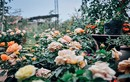 """""""Lạc trôi"""" giữa những vườn hồng cổ bạc tỷ ở Hà Nội"""