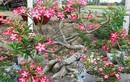 Mãn nhãn những chậu bonsai hoa siêu đẹp chơi Tết