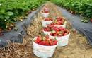 Tận mục vườn dâu tây nữ hoàng siêu đắt đỏ: 250.000 đồng/quả
