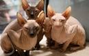 Khiếp: Mèo nhăn nheo như giẻ rách giá 45 triệu/con