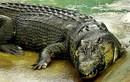 """Bí mật về cá sấu """"quái vật"""" khủng nhất thế giới"""