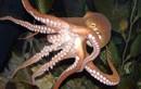 Video: Bị cả bầy bạch tuộc con bám trong miệng sau khi ăn bạch tuộc sống