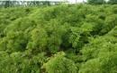 Trồng cây đinh lăng lá nhỏ làm cây thuốc quý cho cả gia đình