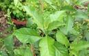 Cây mật gấu: Loại cây chữa bách bệnh trồng tại nhà như thế nào?