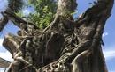 TPHCM: Dân phẫn uất cây Sộp hàng trăm tuổi bị doanh nghiệp chiếm đoạt
