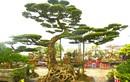 Đại gia An Giang chi 1,2 tỷ rinh cây sanh cổ về chơi Tết