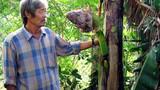 Hiện tượng lạ: Cây chuối trổ buồng từ thân