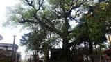 """Chuyện lạ về """"cụ"""" cây quý hiếm 600 tuổi"""