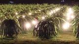 """Đèn điểu khiển khiến cây """"đẻ"""" trái vụ ở Việt Nam"""