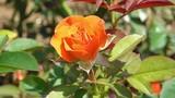 Điều ít biết về cách phân loại giống hoa hồng