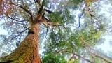 Khám phá rừng pơmu độc nhất vô nhị ở Việt Nam
