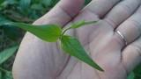 Cận cảnh loài cây ăn 3 lá là đứt ruột mà chết