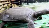 Bí ẩn chuyện rùa nặng hàng tấn, nuốt cả người ở Bắc Giang