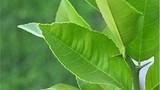 Vì sao nhà dù chật hẹp cũng nên trồng ngay cây chanh?