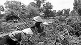 Cơ cực nghề mót củi mưu sinh ở Sài Gòn