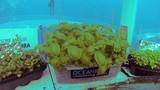 Lặn xuống biển để… trồng rau gây choáng