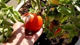 Chỉ cách trồng cà chua sạch sai trĩu quả trong nhà phố