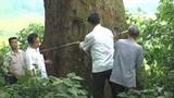 Cây Lim 1.000 tuổi ở Bắc Giang trở thành cây di sản