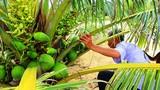 Cận cảnh vườn dừa xiêm lùn sai trĩu quả trên bãi cát