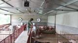 Thú vị trang trại nuôi lợn cho nghe nhạc gúp lợn chóng lớn