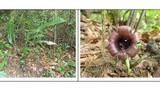Phát hiện hai loài Tỏi rừng mới chỉ có ở Việt Nam