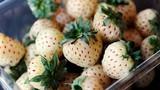 Nhà giàu Việt phát cuồng với dâu tây ngon nhất thế giới