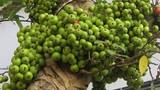 Mẹo trồng và chăm sóc cây sung cảnh ra quả dịp Tết