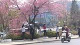 Hoa không nở, Đà Lạt hủy bỏ lễ hội hoa mai Anh Đào
