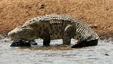 Kinh hoàng, cá sấu khổng lồ tấn công nuốt chửng cầu thủ Mozambique