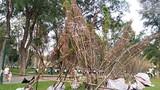Hàng trăm cây anh đào nghiêng ngả tại công viên Thống Nhất