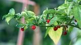 Tê liệt da với loài ớt cay nhất thế giới