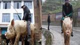 Lão nông 68 tuổi cưỡi lợn đi chợ
