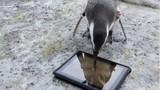 Chết cười xem chim cánh cụt say mê chơi game trên iPad