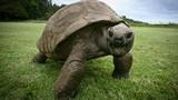 """Chiêm ngưỡng """"cụ"""" rùa thọ nhất thế giới"""