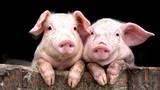 Khám phá gây choáng về loài lợn ngay quanh chúng ta