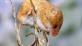 Chuột đồng quý hiếm tái xuất sau 25 năm tưởng tuyệt chủng