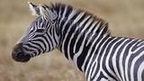 Sự thật bất ngờ về loài ngựa vằn ít ai biết