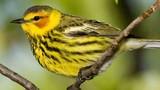 Điểm những loài chim chích tuyệt vời nhất ít người biết